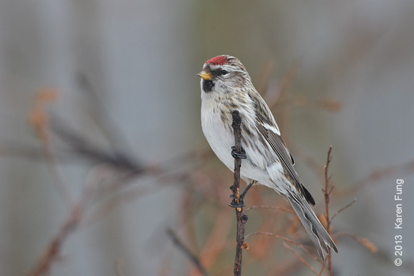 12 January: Common Redpoll in Sullivan County