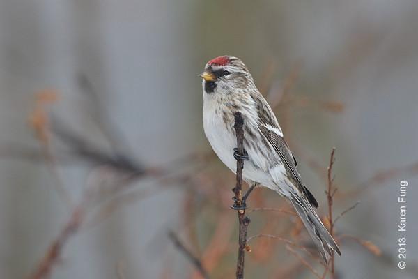 12 January: Common Redpoll in Sullivan County