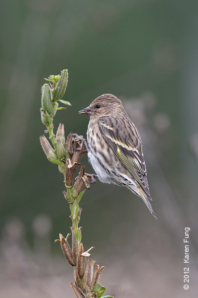 8 October: Pine Siskin at Jones Beach