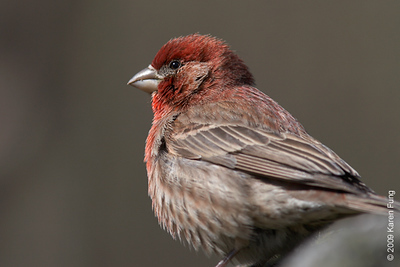 5 April: House Finch in Central Park