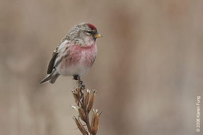 9 February: Common Redpoll (male) in Montauk, NY, Feb 9th.  A flock of a dozen or so of these finches was seen on the beach at the end of East Lake Drive.