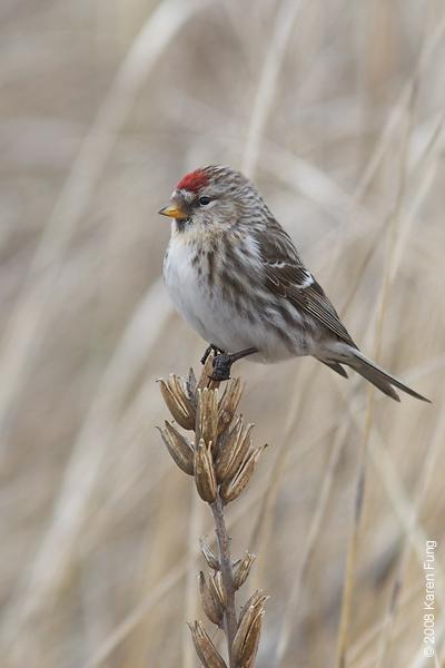 9 February: Common Redpoll (female) in Montauk, NY