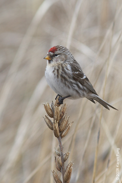 9 February: Common Redpoll (female) in Montauk, NY