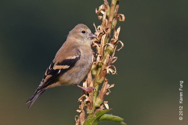 6 October: American Goldfinch in the Wildflower Meadow of Central Park