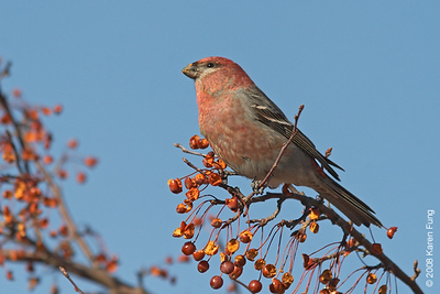 20 January: Pine Grosbeak (male) in Grahamsville, NY