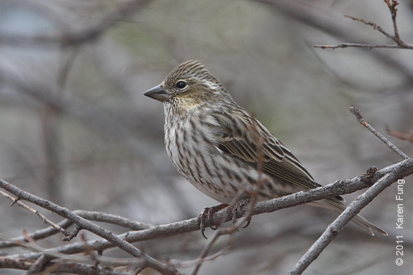 2 December: Cassin's Finch at Cedar Crest, NM