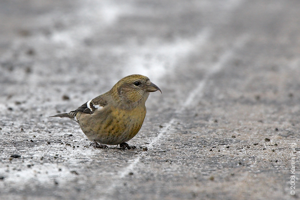6 December: White-winged Crossbill (female) in Sullivan County