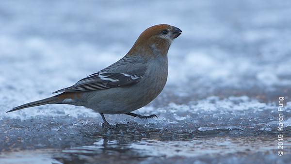26 Feb: Pine Grosbeak in Salem, NY