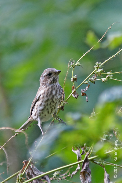 30 September: Purple Finch in Central Park