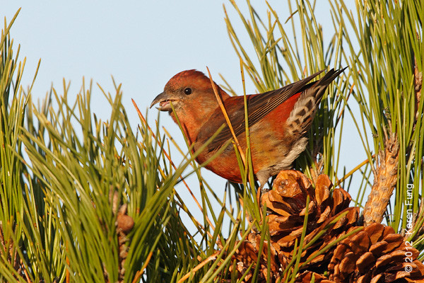 18 November: Red Crossbill in Suffolk County