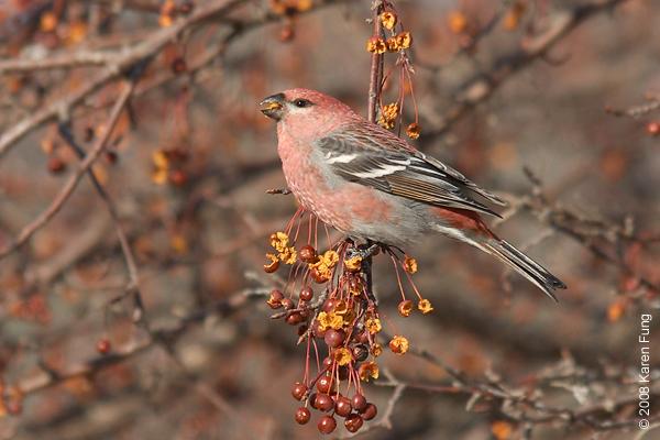 20 January: Pine Grosbeak (male) in Grahamsville, NY