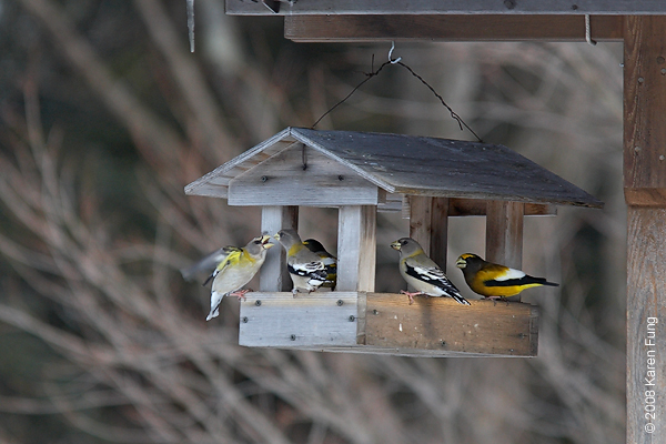16 February: Evening Grosbeaks, Sullivan County.  Photographed from the main road.