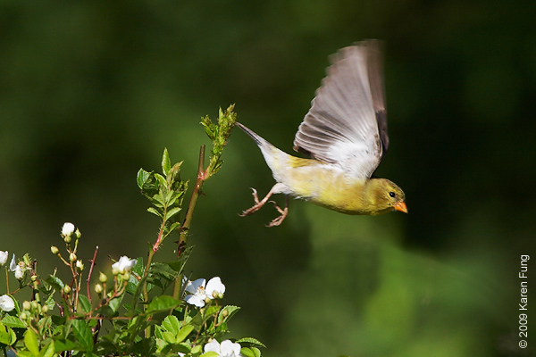 1 June: Female American Goldfinch in Rockland County, NY