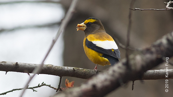 20 Jan: Evening Grosbeak in Riverside Park