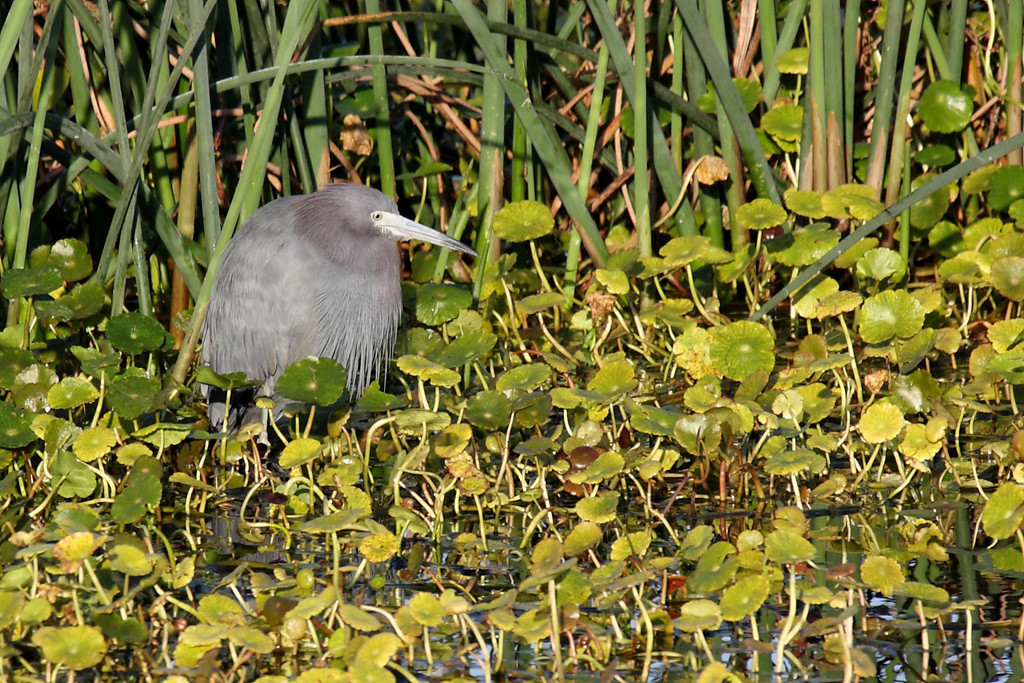A little blue heron looking among the shallows for his/her breakfast.