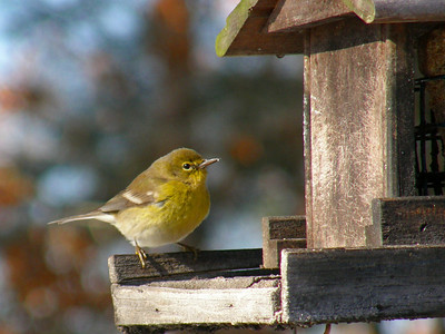 Pine warbler feeding on the suet feeder.