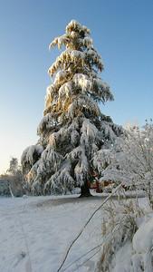 Hemlock tree.