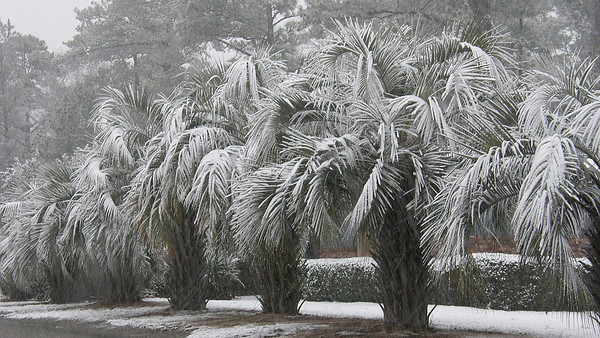 Friday evening the snow began to fall.  These palms looked a little out of place.