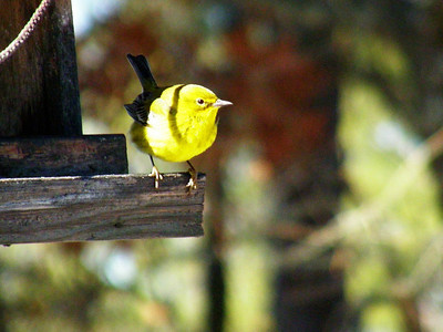 Male pine warbler.