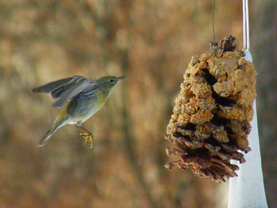 Female pine warbler on final approach.