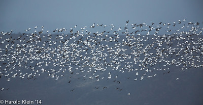Snow Geese are always amazing to watch…they don't do anything unless they all do it at once!!