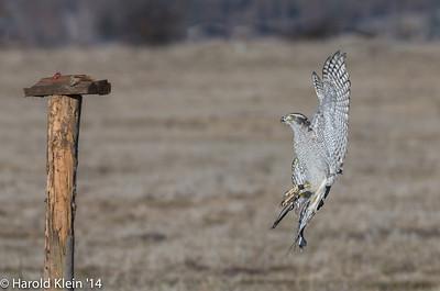Falcon approaching his feeding perch.