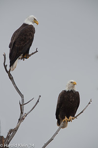 Couple eagles in no hurry to go anywhere…they posed quite nicely in the rain until harassed by a large group of little birds?! then eventually flew off looking for quieter surroundings I guess
