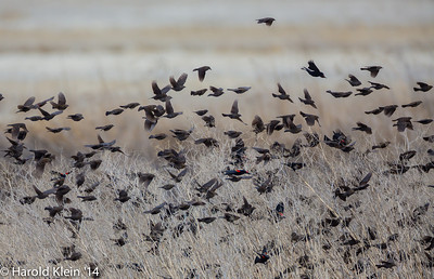 Went down to Northern California to another part of the vast NWR…most everything was hunkered down out of the wind…except this large flock of Black Birds and they were very entertaining trying to hang on in the wind...