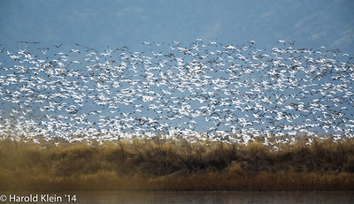 Found the Snow Geese!!  Maybe a couple thousand here today...