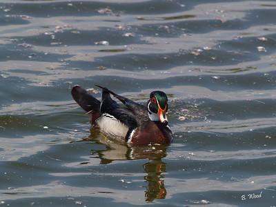 AS 07MY8055 Wood duck (Aix sponsa).