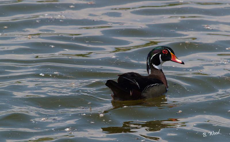 AS 07MY8060 Wood duck (Aix sponsa).