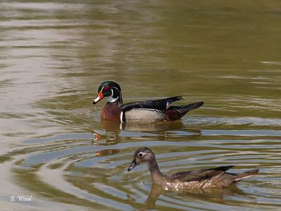 AS 07MY8035 Male and Female Wood ducks (Aix sponsa).