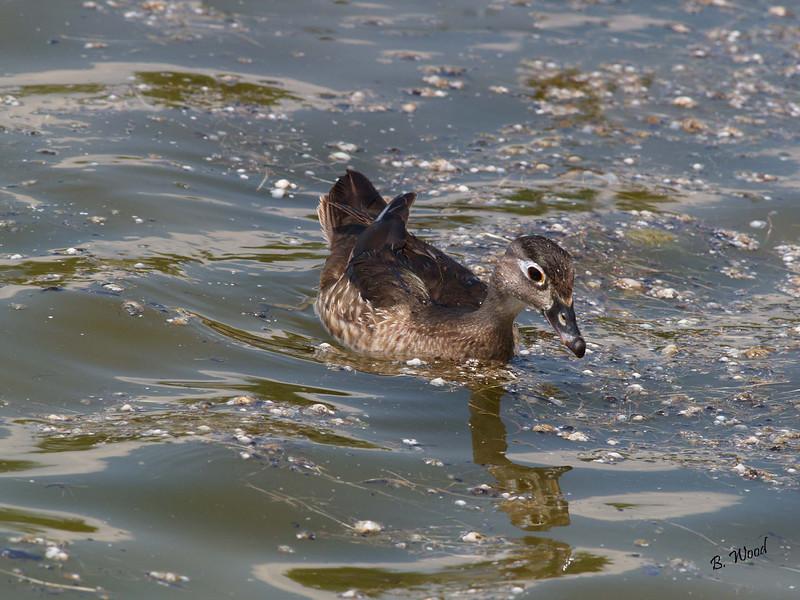 AS 07MY8127 Female Wood Duck (Aix sponsa).