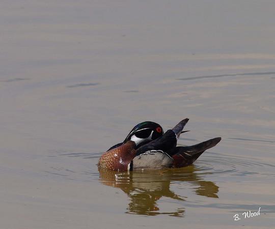 AS 07MY8043 Male Wood duck (Aix sponsa), preening.