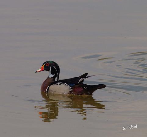 AS 07MY8042 Male Wood duck (Aix sponsa).