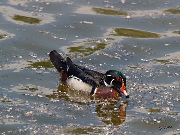 AS 07MY8128 Wood duck (Aix sponsa).