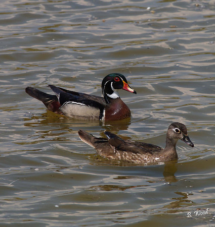 AS 07MY8106 Male and Female Wood ducks (Aix sponsa).