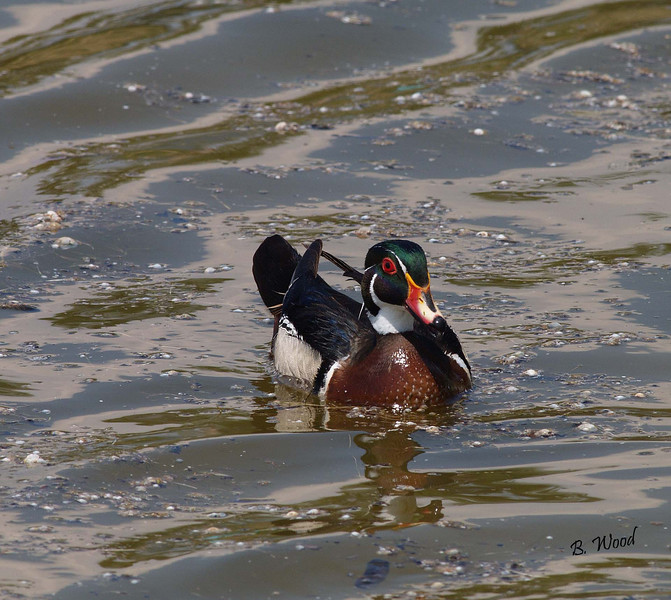 AS 07MY8123 Wood duck (Aix sponsa).
