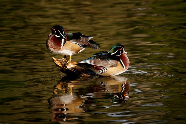 Wood Ducks at Lloyd Lake.