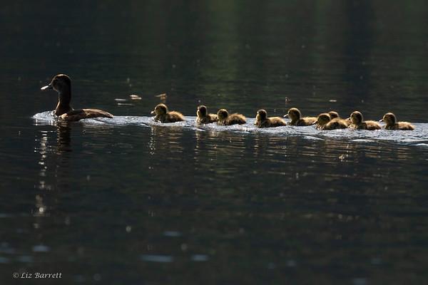 0U2A3625_Wood Ducks