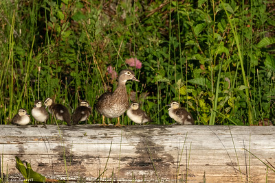 0U2A5932_Wood duck family