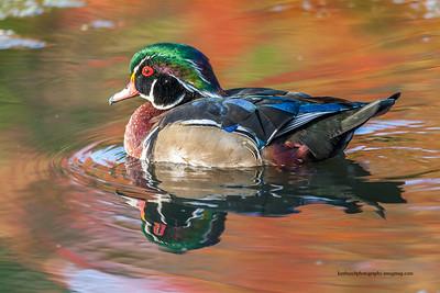 Wood Duck Male 0444