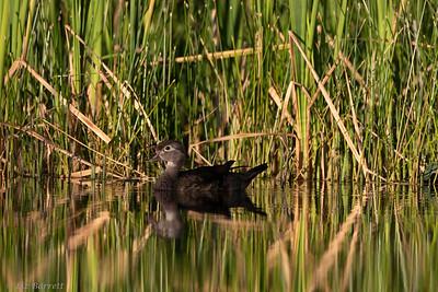 0U2A5978_Wood Duck