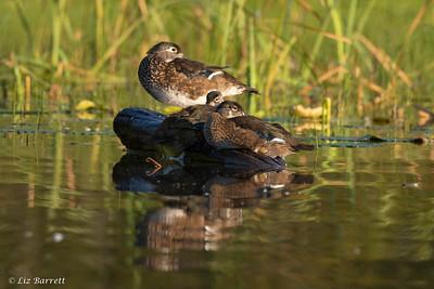 202A2397_Wood Ducks