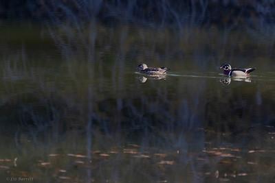 0U2A4295_Wood Ducks