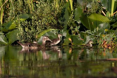 0U2A6049_Wood duck family
