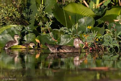 0U2A6054_Wood Duck family