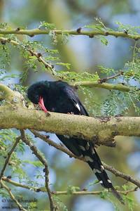 Green Wood-hoopoe- Lake Nakuru Naional Park, Kenya