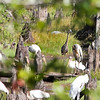 Wood Storks