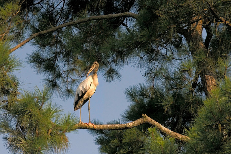 wood stork<br /> Look Away<br /> Wood Stork